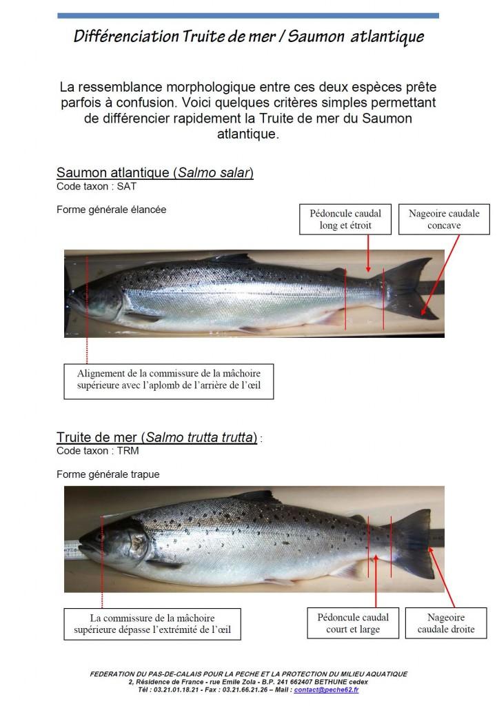 Apprendre à différencier une truite d'un saumon atlantique en image !