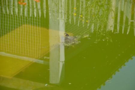 Lutte contre le rejet des tortues aquatiques...